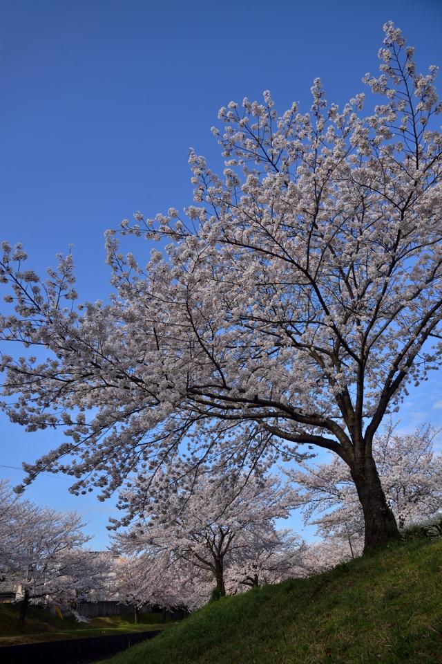 豊田市_水無瀬川の桜4.jpg