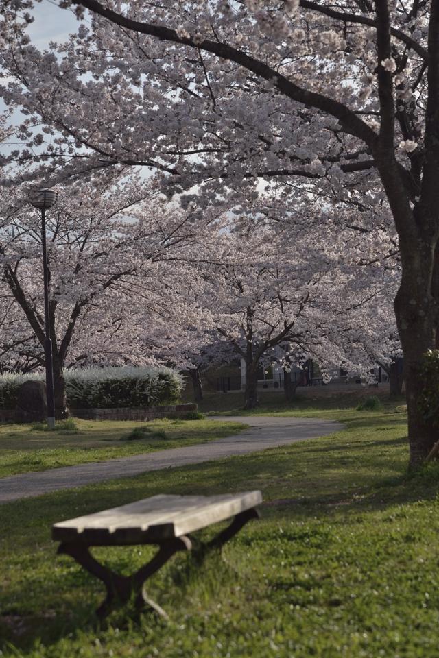 豊田市_水無瀬川の桜6.jpg