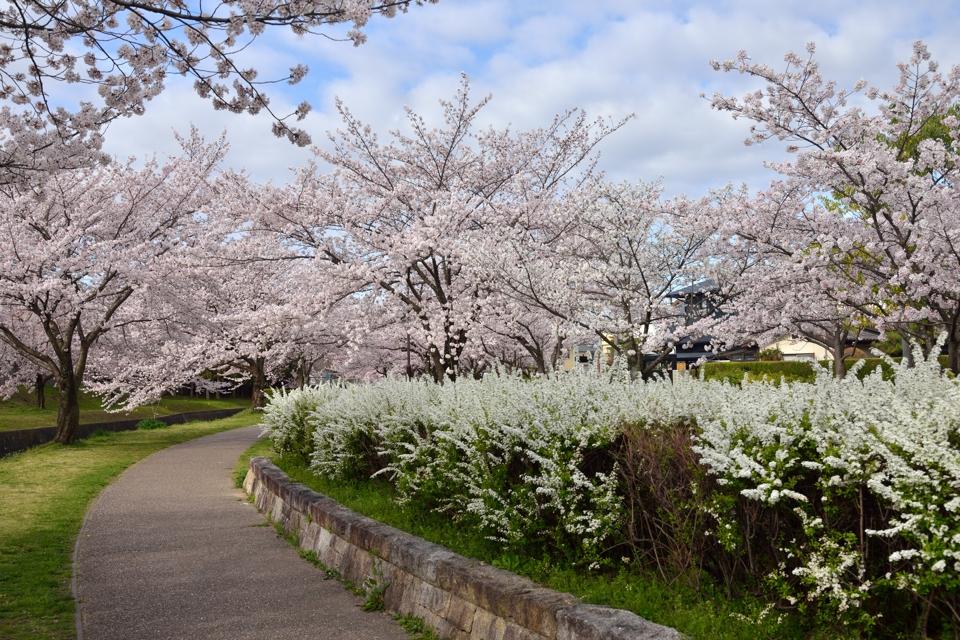 豊田市_水無瀬川の桜7.jpg