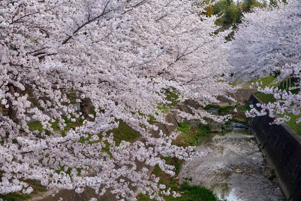 豊田市_水無瀬川の桜8.jpg