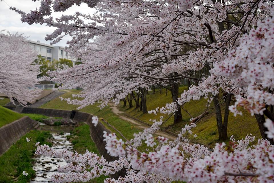 豊田市_水無瀬川の桜9.jpg