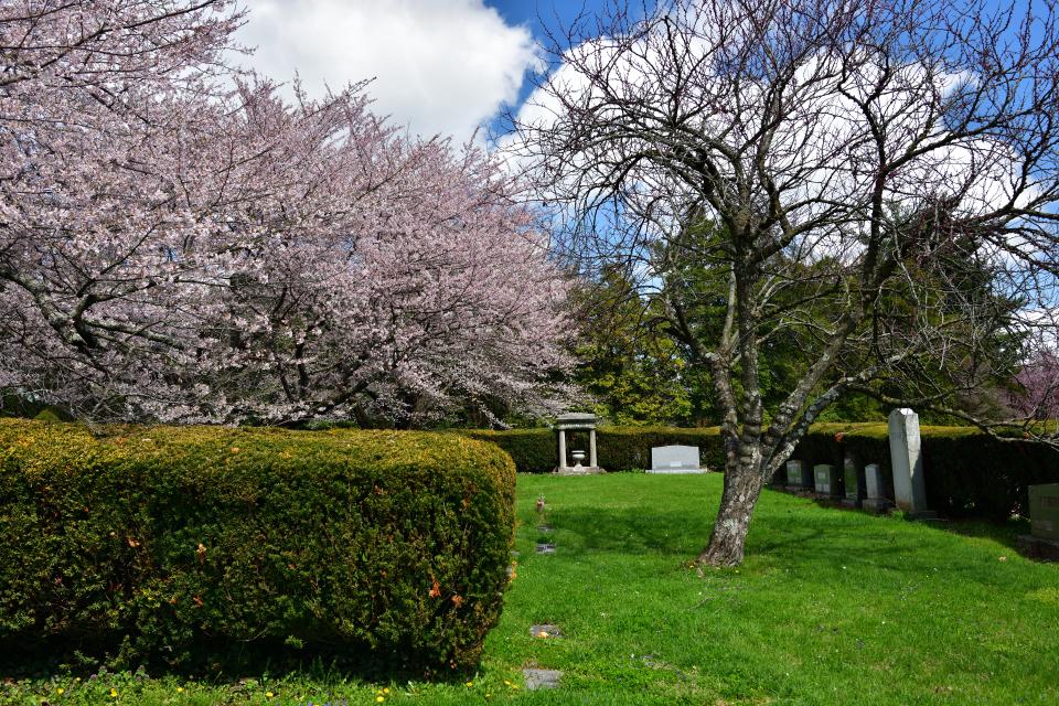レキシントン墓地の桜写真3.jpg