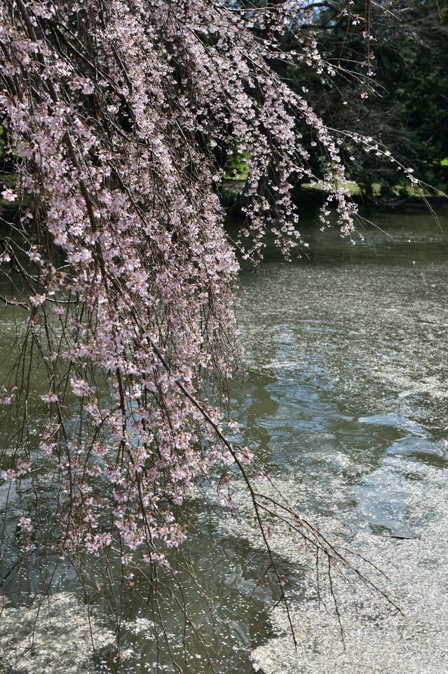 レキシントン墓地の桜写真6.jpg