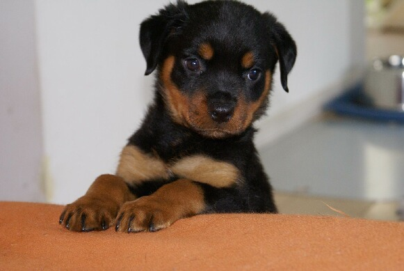 Resultado de imagen para Rottweiler    犬  冬