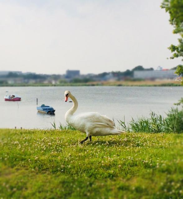 白鳥とボート