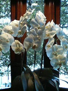 胡蝶蘭 ファレノプシス