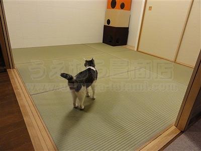 ネコ(猫)や犬(いぬ)が舐めても安心超低農薬栽培い草で表替え狭小部屋も広くミセル(畳替え)大阪市住吉区1