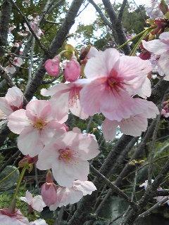 しだれ桜2。
