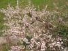ユスラウメの花