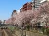 巣鴨駅線路沿いの桜