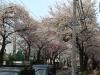 新青梅街道の桜
