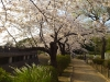中野哲学堂の桜