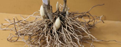 アツモリソウの根