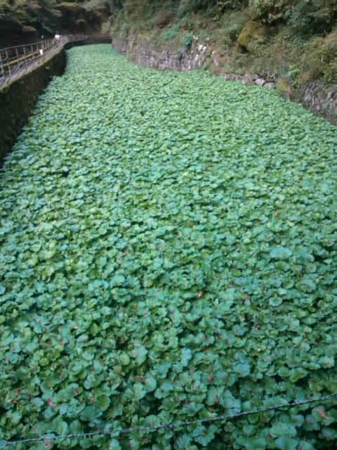 浄蓮の滝の山葵畑
