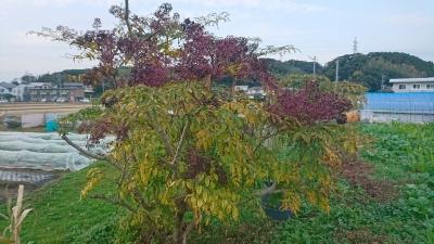 11月のタラの木