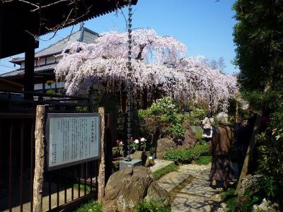 玉蔵院の桜1