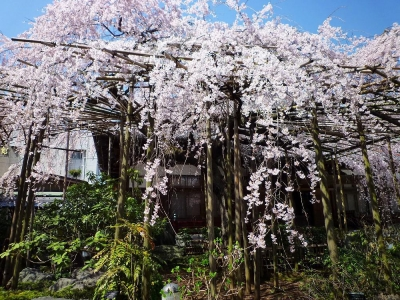 玉蔵院の桜2
