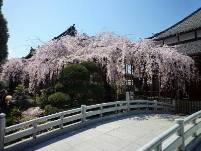 玉蔵院の桜3