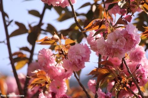 2014農家民宿縁八重桜