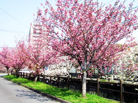 川面に映る、八重桜