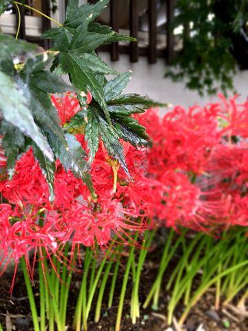 雨と紅葉と彼岸花