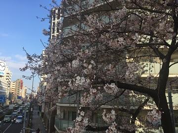 桜近所01
