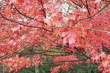 強羅の紅葉