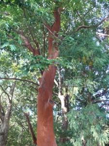 ばくちの木1