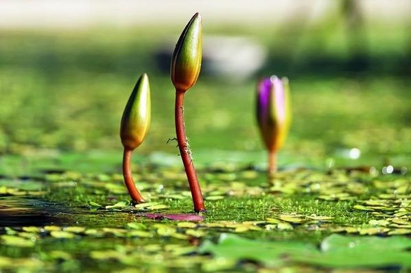 Water lilies bud 1388690 640