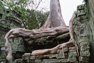 遺跡に絡まる木。