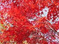 かつらの紅葉