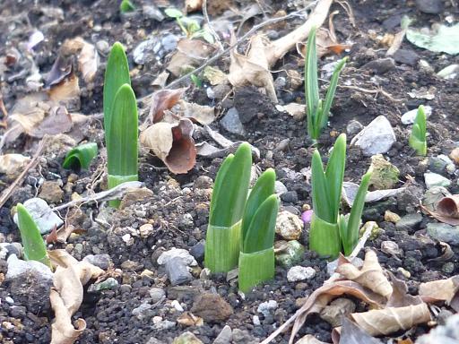 ムスカリと水仙の芽