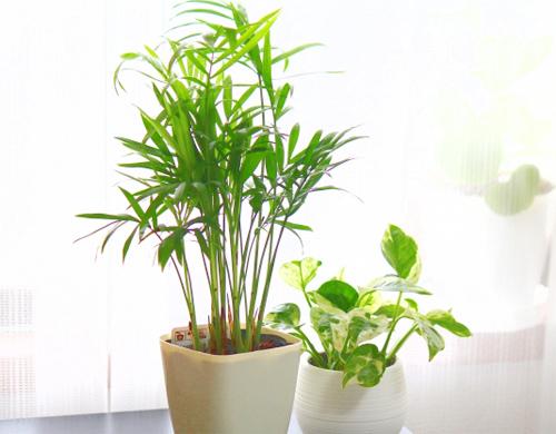 観葉植物ヤシイメージ