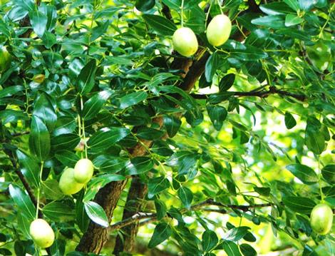 グリーンマンゴーの木