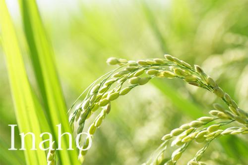 緑の稲穂イメージ