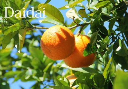 柑橘ダイダイイメージ