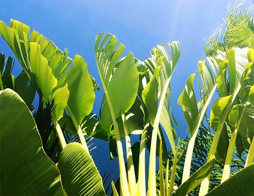 観葉植物ストレリチアオーガスタイメージ