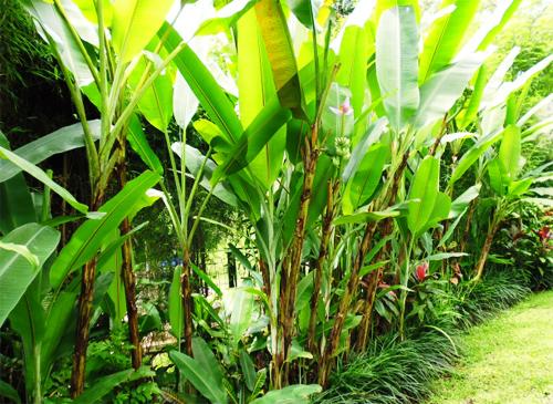 バリ島のバナナの木イメージ
