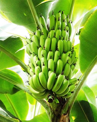 バナナの果実イメージ