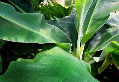 小さめのバナナの葉