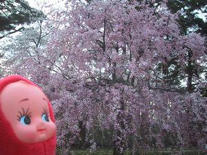 いろんな桜がみれるのよ