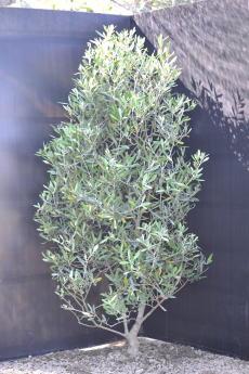 ミッション H-125cm(特選オリーブの木)