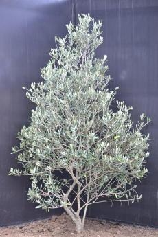 マンザニロ H-125cm(特選オリーブの木)