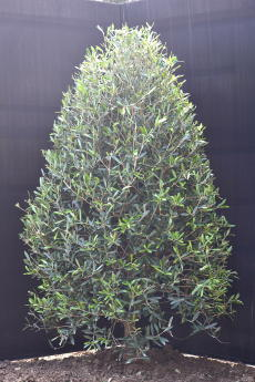 ネバディロ・ブランコ H-130cm(特選オリーブの木)