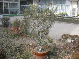 小学校のオリーブの木
