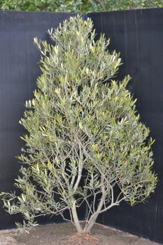 ネバディロ・ブランコ H-135cm(特選オリーブの木)