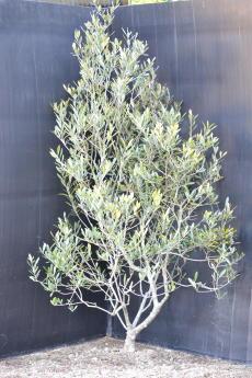 マンザニロ H-130cm(特選オリーブの木)