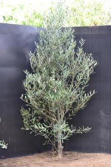 ミッション H-150cm(特選オリーブの木)