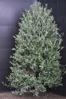 ネバディロ・ブランコ H-120cm(特選オリーブの木)