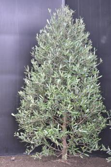 ネバディロ・ブランコ H-110cm